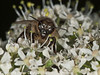 17 Jul 2010 - Honey Bee at Creech Woods, Denmead. Copyright Peter Drury 2010