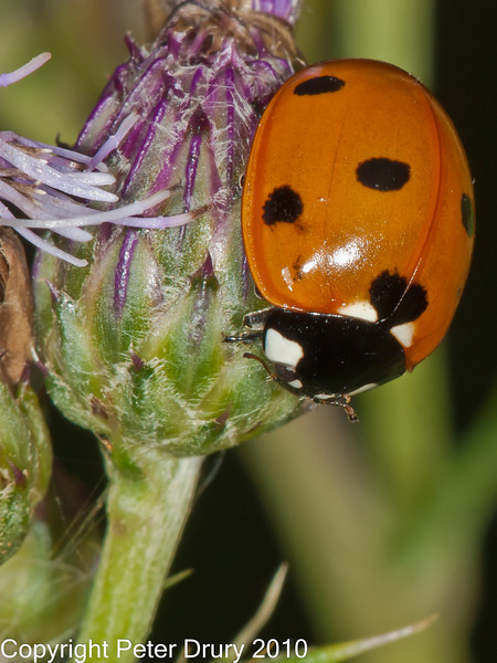 17 Jul 2010 - 7 Spot Ladybird (Coccinella 7 punctata) at Creech Woods, Denmead. Copyright Peter Drury 2010