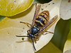 Wasp (Vespula vulgaris). Copyright Peter Drury 2010