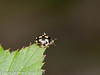 07 April 2011. 16 spot ladybird in Creech Wood.  Copyright Peter Drury 2011