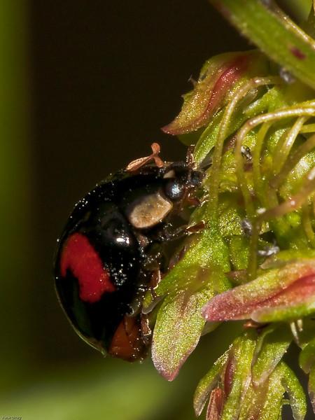 15 June 2009. 2 Spot Ladybird (Coccinella 2 punctata). Copyright 2009 Peter Drury