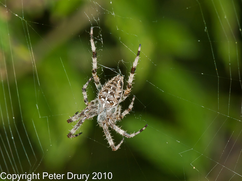 01 Sep 2010 -  Garden Spider (Araneus diadematus) seen at Plant Farm, Portsdown Hill. Copyright Peter Drury 2010