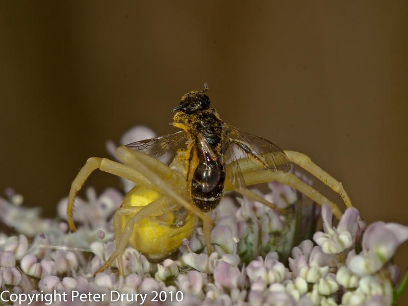 Crab Spider ( Misumena vatia). Copyright Peter Drury 2010