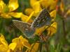 common blue (Polyommatus icarus). Copyright Peter Drury 2010