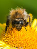 09 Sep 2010 -  Bombus pascuorum at Plant Farm, Waterlooville. Copyright Peter Drury 2010