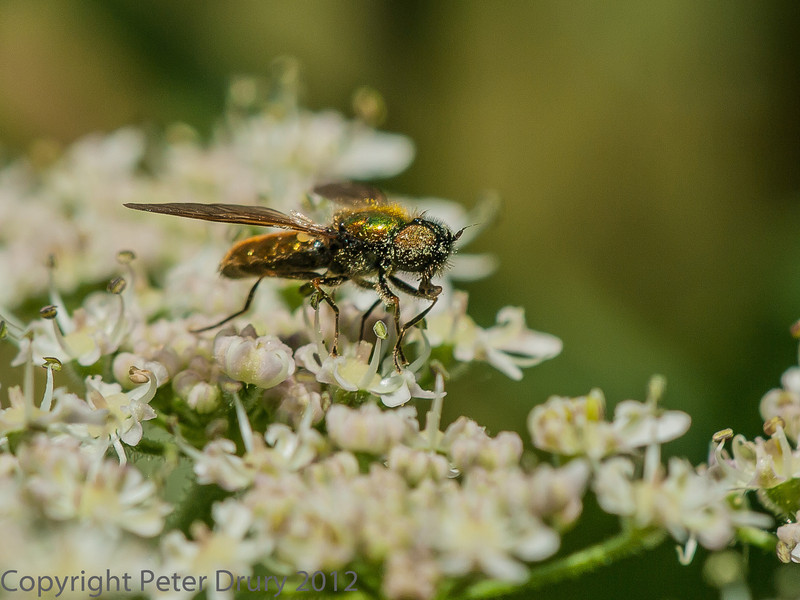 05 July 2012 Chloromyia formosa male at Port Solent