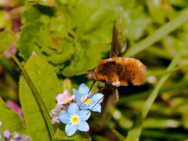 Bee fly (Bombylius major). Copyright Peter Drury 2010<br /> For Ethan - Combining the Bee fly with forget-me-nots.<br /> The fly is in the process of extracting Nectar from the flower.