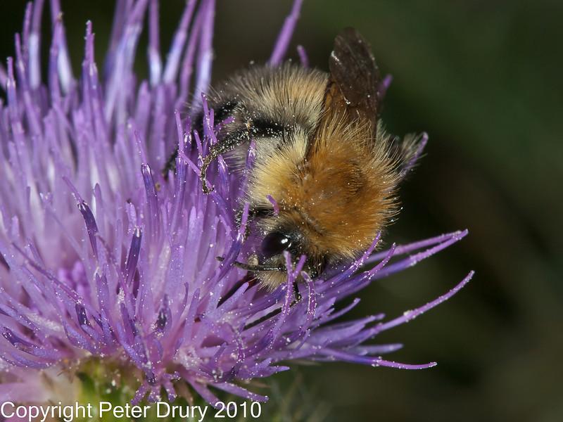 06 Sep 2010 - Bombus pascuorum at Plant Farm, Waterlooville. Copyright Peter Drury 2010