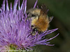 06 Sep 2010 - Bombus pascuorum at Plant Farm, Waterlooville. Copyright Peter Drury 2010