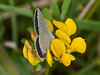 Small Blue (Cupido minimus) - male. Copyright Peter Drury 2010