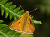 Small Skipper . Copyright Peter Drury 2010