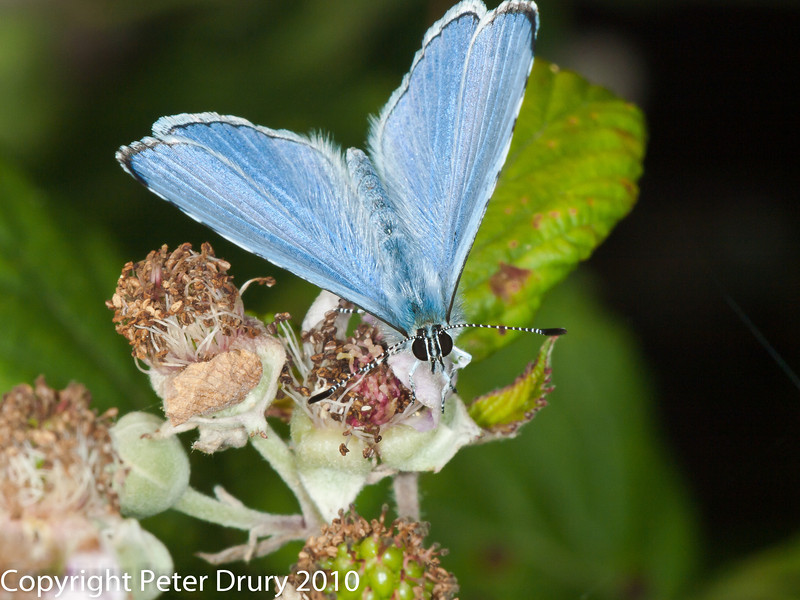 Holly Blue (Celastrina argiolus). Copyright Peter Drury 2010