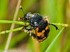 19 Aug 2010 - Nicrophorus vespillo. Copyright Peter Drury 2010