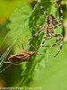 09 Sep 2010 -  Garden spider (Araneus diadematus) at Plant Farm, Waterlooville. Copyright Peter Drury 2010<br /> It is seen here approaching a Squash Bug (Coreus marginatus) which has been caught in its web.