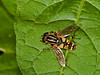 Hoverfly (Helophilus pendulus). Copyright 2009 Peter Drury