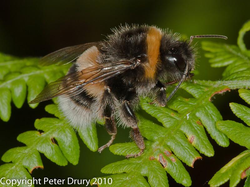 Buff-tailed Bumblebee (Bombus terrestris). Copyright Peter Drury 2010