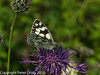 Marbled White ( Melanargia galathea). Lots of these on the wing today - all fresh looking. Copyright Peter Drury 2010