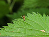 27 May 2011. Nemophora degeerella at Creech Wood. Copyright Peter Drury 2011