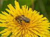 19 Sep 2011 Andrena sp at Plant Farm