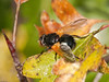 Muscidae - Mesembrina meridiana. Copyright 2009 Peter Drury