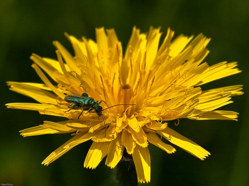 Thick-kneed Flower Beetle (Oedemera nobilis)<br /> This is the male with thick bulbous thighs on the rear legs.