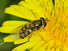 21 Jun 2011. Female Eupeodes corollae at Widley. Copyright Peter Drury 2011