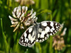 24 Jun 2011. Marbled White at the Chalk Quarry. Copyright Peter Drury 2011<br /> This is the first Marbled White I have seen this year.
