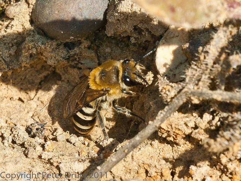 29 Sep 2011 Female Ivy mining Bee at Plant Farm