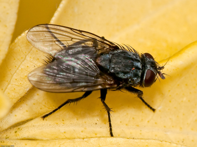 Muscidae (Muscina  prolapsa). Copyright Peter Drury 2010