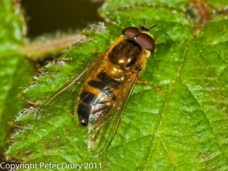 06 April 2011. Epistrophe elegans at Widley.  Copyright Peter Drury 2011