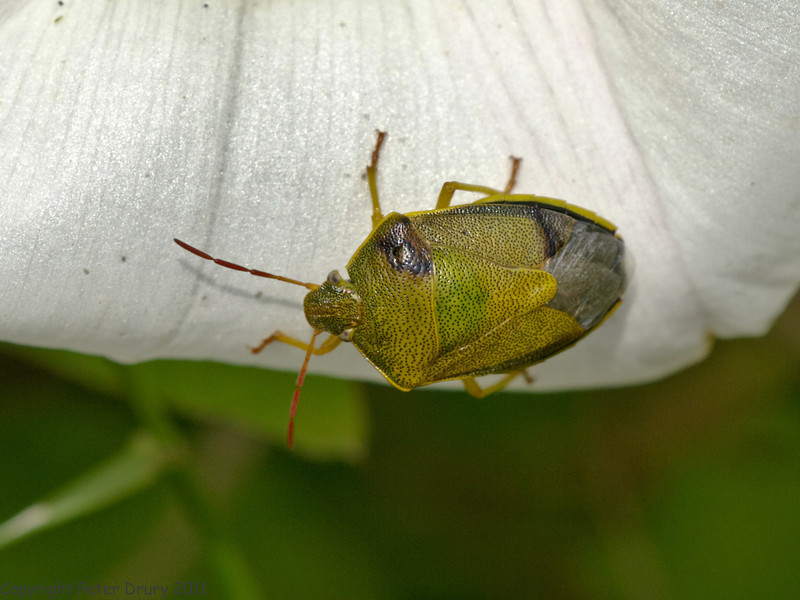 24 Jun 2011. Gorse Shieldbug (Piezodorus literatus) at the Chalk Quarry. Copyright Peter Drury 2011