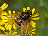 27 Aug 2010 - Volucella zonaria. Copyright Peter Drury 2010