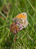 02 Oct 2011 Small Heath at Farlington Marshes