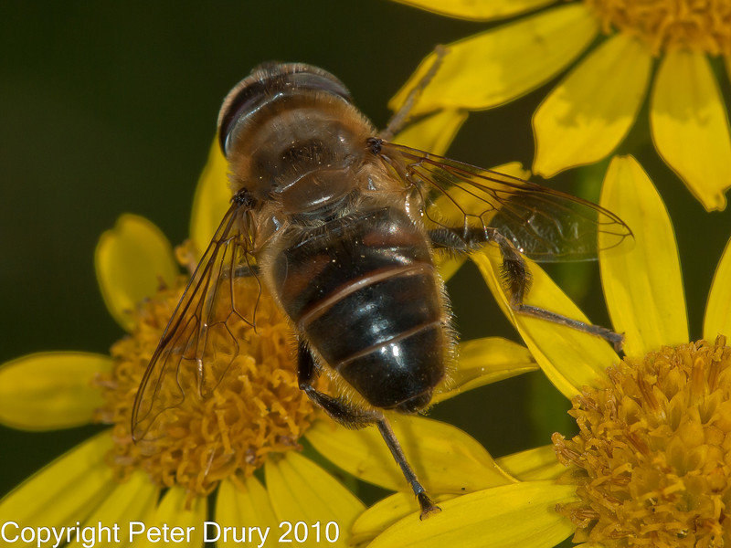 02 Sep 2010. Erastalis tenax at Plant Farm, Waterlooville<br /> This image clearly shows the thickened rear legs.