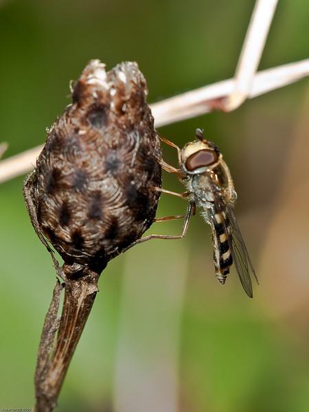 Hoverfly (Syphidae-Syriphinae-Melanostoma scalare). Copyright 2009 Peter Drury