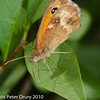 Gatekeeper (Pyronia tithonus). Copyright Peter Drury 2010