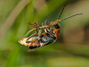Cantharis rustica. Copyright Peter Drury 2010