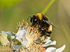 04 July 2011. Buff-tailed Bumblebee (Bombus terrestris) at Widley. Copyright Peter Drury 2011
