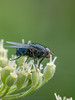 05 July 2012 Blue bottle Fly at Port Solent