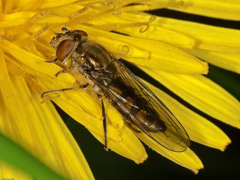 Platycheirus manicatus. Copyright Peter Drury 2010