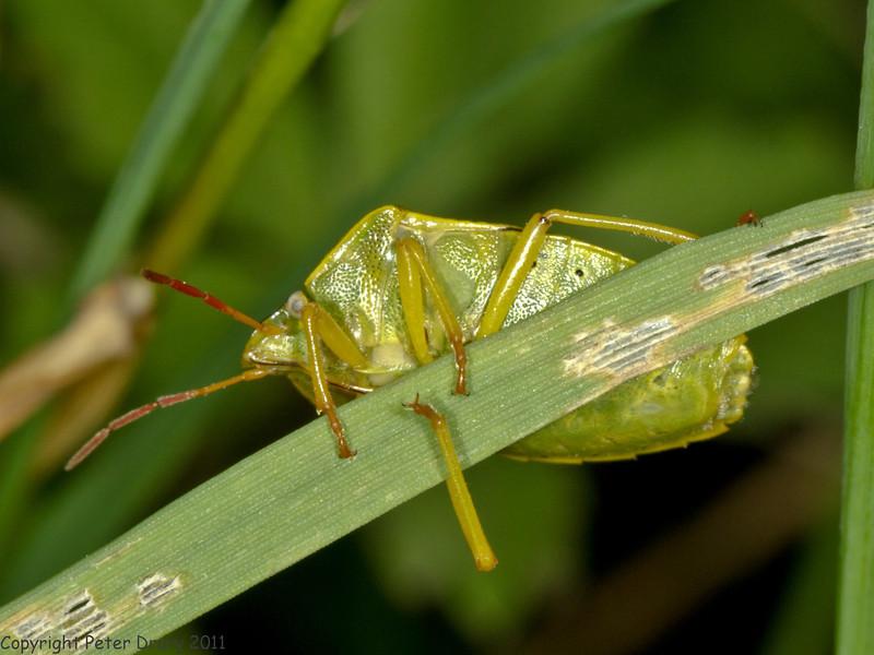 24 Jun 2011. Gorse Shieldbug at the Chalk Quarry. Copyright Peter Drury 2011