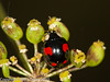 11 Aug 2010 - Harlequin Ladybird (Harmonia axyridis f. conspicua). Copyright Peter Drury 2010