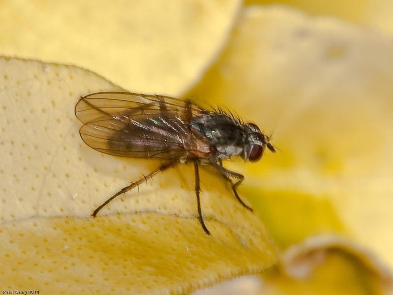 Flower Fly (Hydrophoria linogrisea). Copyright Peter Drury 2010