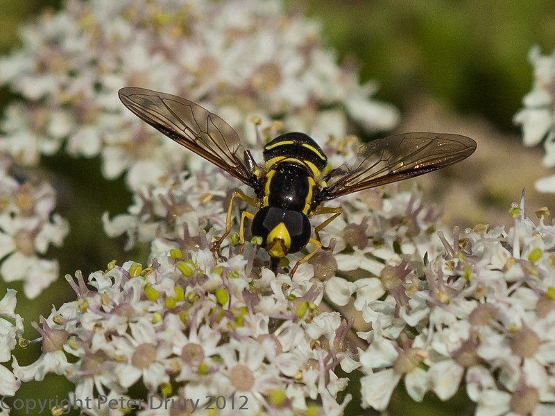 05 July 2012 Hoverfly at Port Solent