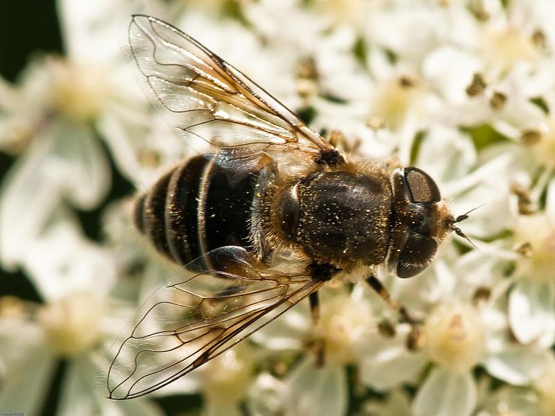 Hoverfly (Eristalis arbustorum)