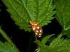 01 Oct 2009. Orange Ladybird (Halyzia 16-guttata). Copyright 2009 Peter Drury