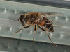 21 May 2012  Eristalis pertinax at Widley