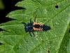 05 Jun 2009. Harlequin Ladybird (Harmonia axyridis) Larva