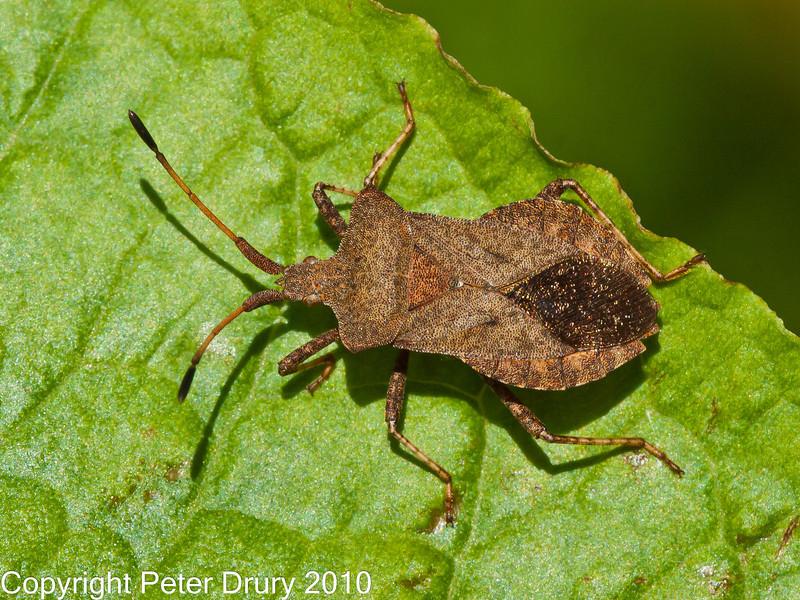 09 Sep 2010 -  Squash Bug (Coreus marginatus) at Plant Farm, Waterlooville. Copyright Peter Drury 2010