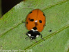 04 Sep 2010 -  7 spot ladybird (coccinella 7 punctata)  at Broadmarsh. Copyright Peter Drury 2010
